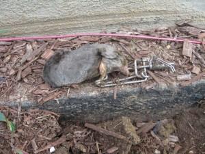 mole-in-trapline-trap1-300x225
